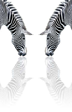 zebra reflection Stock Photo
