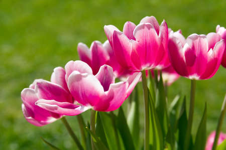 Pink tulip flowers Stock Photo - 9267152