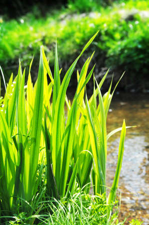 stream reeds photo