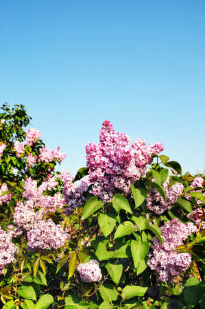 Lilac flowers Stock Photo - 9484797