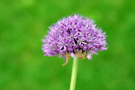 Allium flower Stock Photo - 9484638
