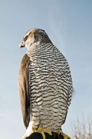 merlin falcon: Peregrine falcon