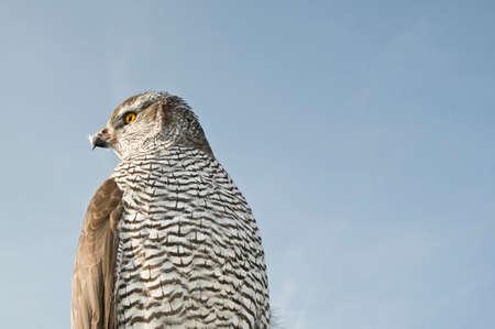 merlin falcon: Peregrine falcon hawk