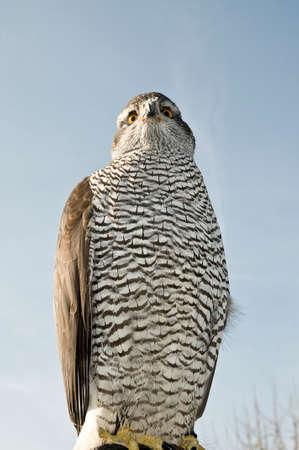 merlin falcon: Peregrine