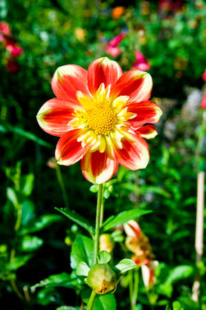 closeups: Red and yellow dahlia Stock Photo