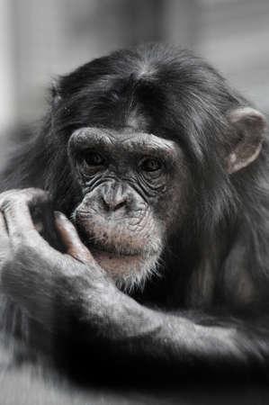 chimpances: Chimpancé retrato Foto de archivo