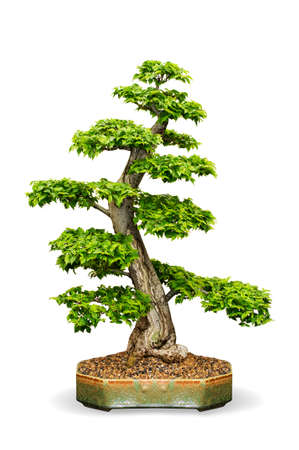 arbol de problemas: árbol de los bonsai en maceta Foto de archivo
