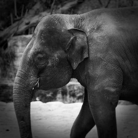 bw: bw elephant