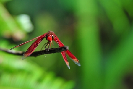 pruinescence: Dragonfly resting