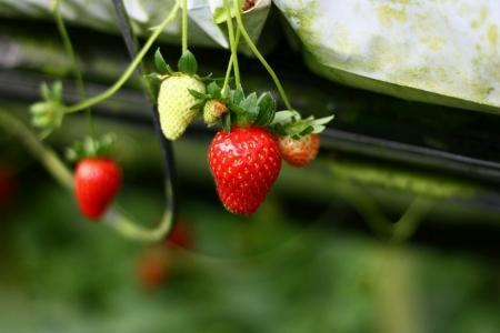 srawberry: Close up of a srawberry fruits