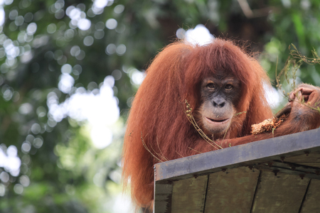 utang: close up view of orang utan Stock Photo