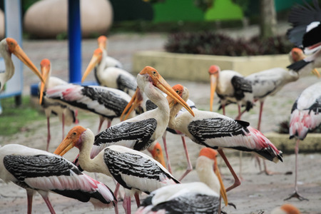flocking: view of egret birds at zoo