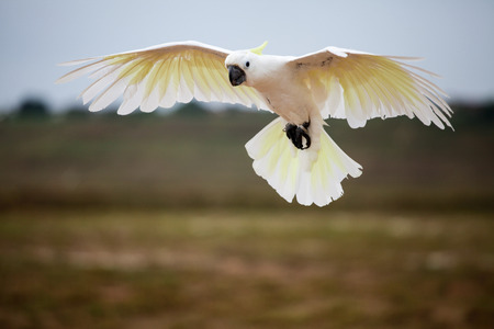 A beautiful Greater Cockatoo is flying on the air.