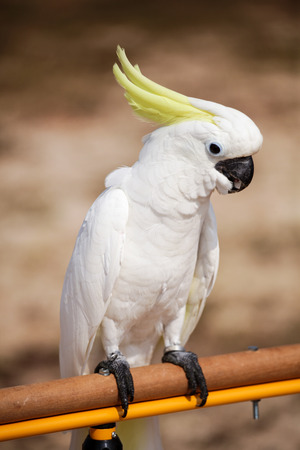 A beautiful Greater Cockatoo stand on log.