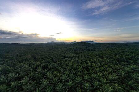 palm oil tree farm aerial shot dramatic morning view