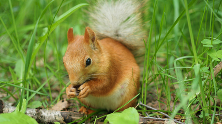 Red squirrel deftly gnaws nuts in the park