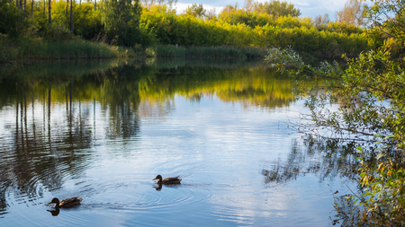 A small lake in the Park, the yellowing trees along the shore. Wild ducks swimming on the lake. The reflection of sky and trees in the water of the lake. A beautiful scenic place Stock Photo