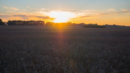 Ears of wheat waving in the wind at sunset time. Wheat field Stock Photo