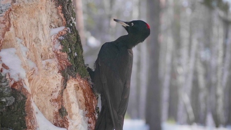 The bird is a Woodpecker sitting on the tree and beak knocks on wood. Winter forest.