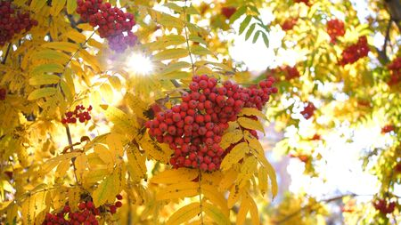 the suns rays pass through the autumn leaves of the tree. Rowan berries Banque d'images - 131803800