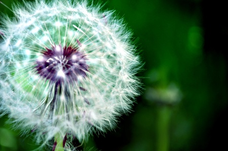 Close-up image of a white dandelion in green field photo