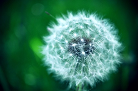Close-up image of a white dandelion in green field Stock Photo - 9069342