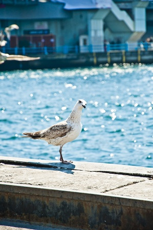 White and brown seagull standing and staring on bright blue sea background with bokeh photo