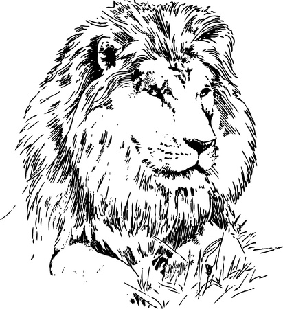 lion dessin: Lion couché sur gazon à main dessin noir sur blanc Illustration