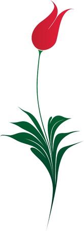 white tulip: Very elegant ottoman style tulip illustration over white