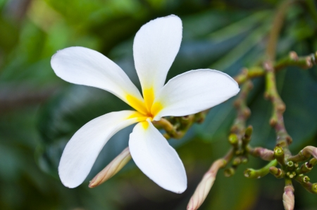 Plumeria flower on a branch with green leaves photo