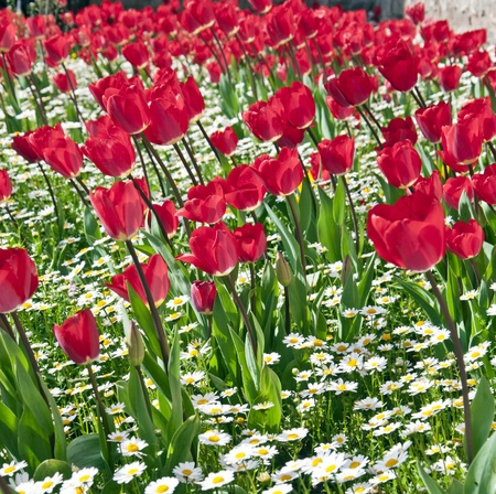 flower close up: Bed of tulips and daisies