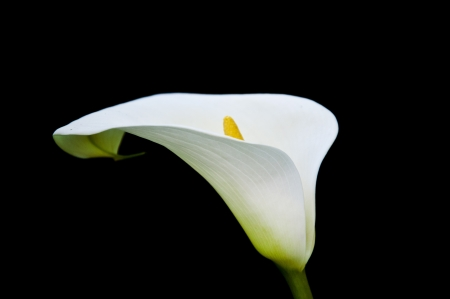 Single white calla close up isolated on black photo