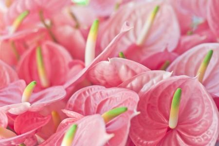 anthurium: Pink anthuriums Stock Photo