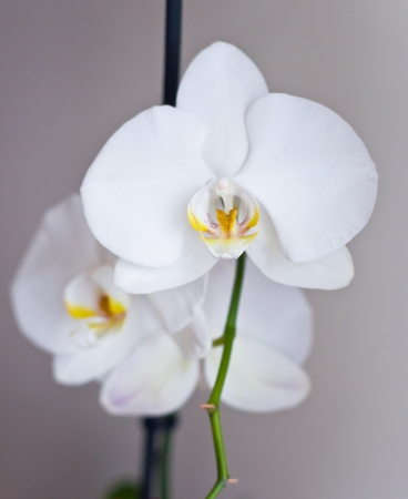 White orchids on a branch photo