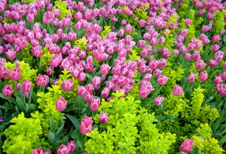 Pink tulips in a garden Stock Photo - 18821947