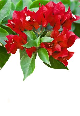 Bougainvillea photo