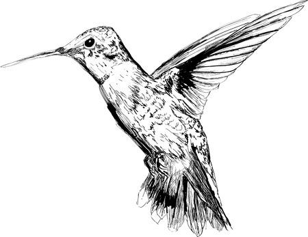орнитология: Красивая рисованной колибри, изолированных на белом