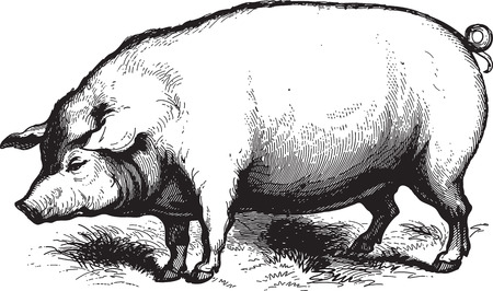 Ancient engraving of a swine isolated on white