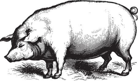 cerdos: Grabado antiguo de un cerdo aislado en blanco Vectores