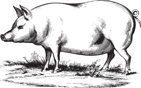 etching: Ancient engraving of a swine isolated on white