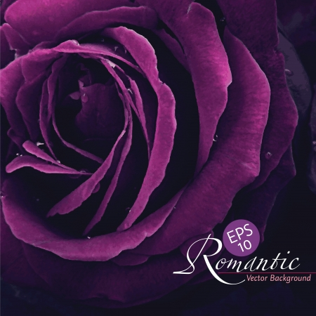Romantic purple rose with water drops, photo-real vector photo