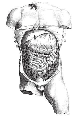 descending colon: Ancient style vector engraving of internal human body