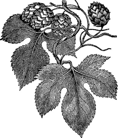 rosales: Ancient botanical engraving of common hop or humulus lupulus