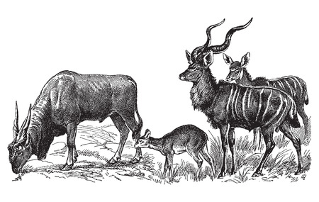 art: Ancient engraving of various wild deer species