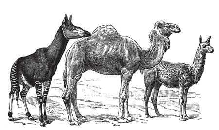 llama: Ancient engraving of various wild camel species
