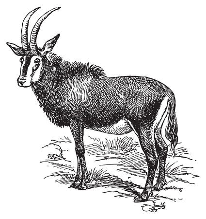 Ancient engraving of a wild goat with long horns