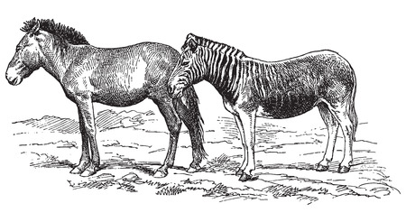 Ancient engraving of a donkey and a hybrid of zebra and donkey Vector