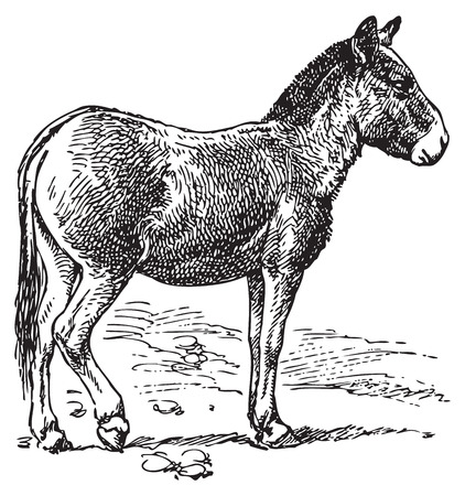 mule: Ancient engraving of a donkey standing