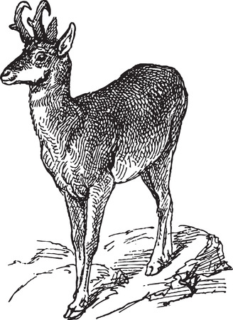 Ancient engraving of a wild yound deer