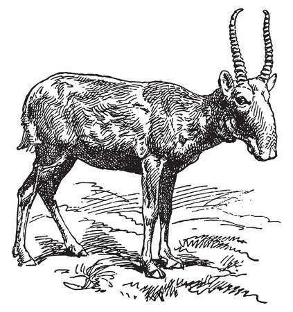 capra: Ancient engraving of a wild goat with long horns